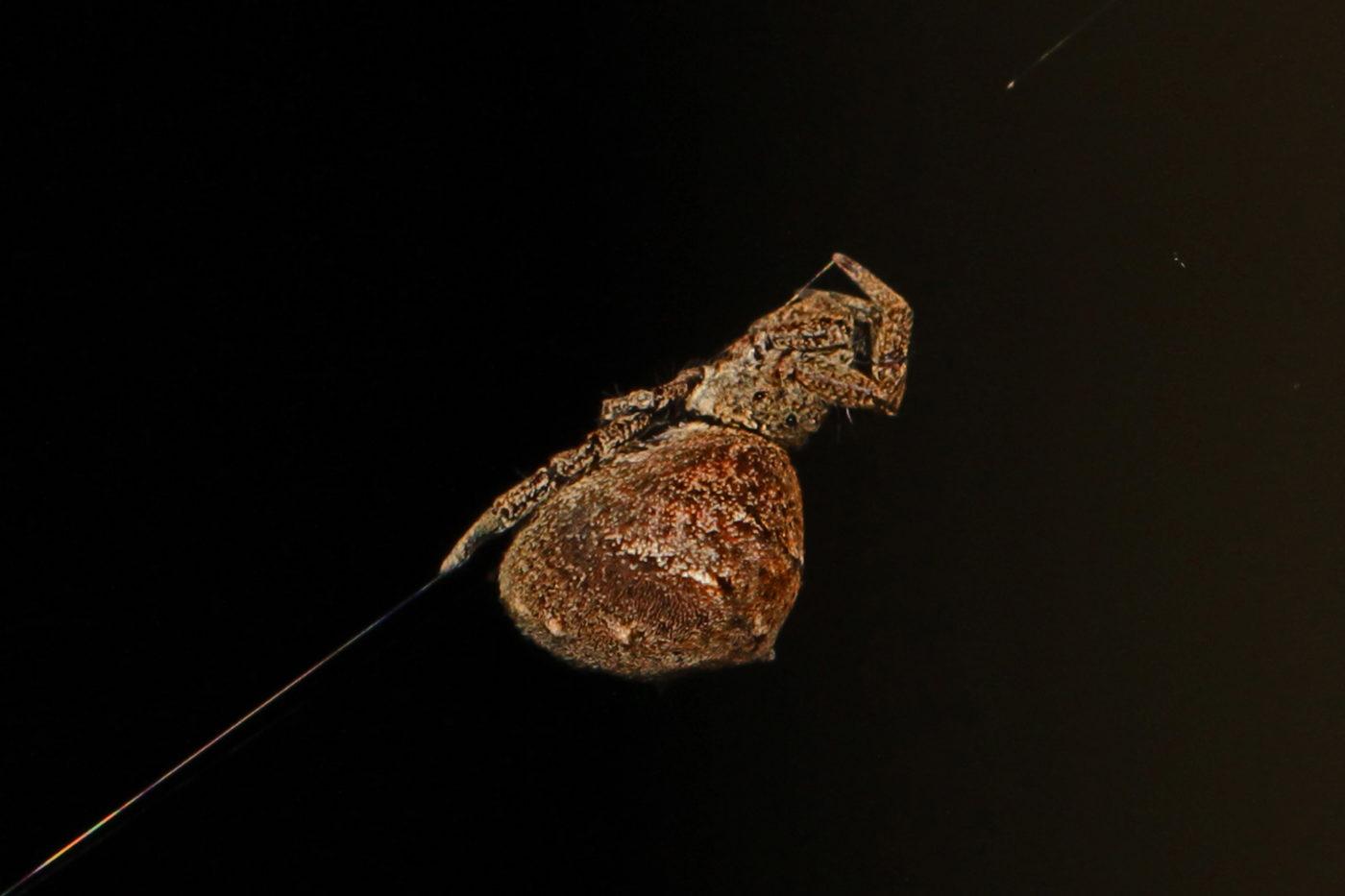 Паук Hyptiotes cavatus