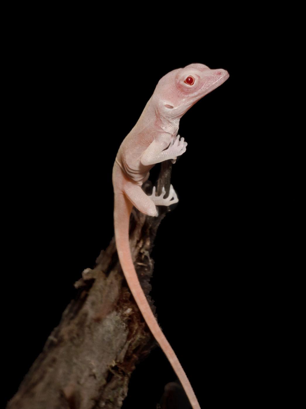 Эти ящерицы являются первыми в мире генноизмененные рептилии