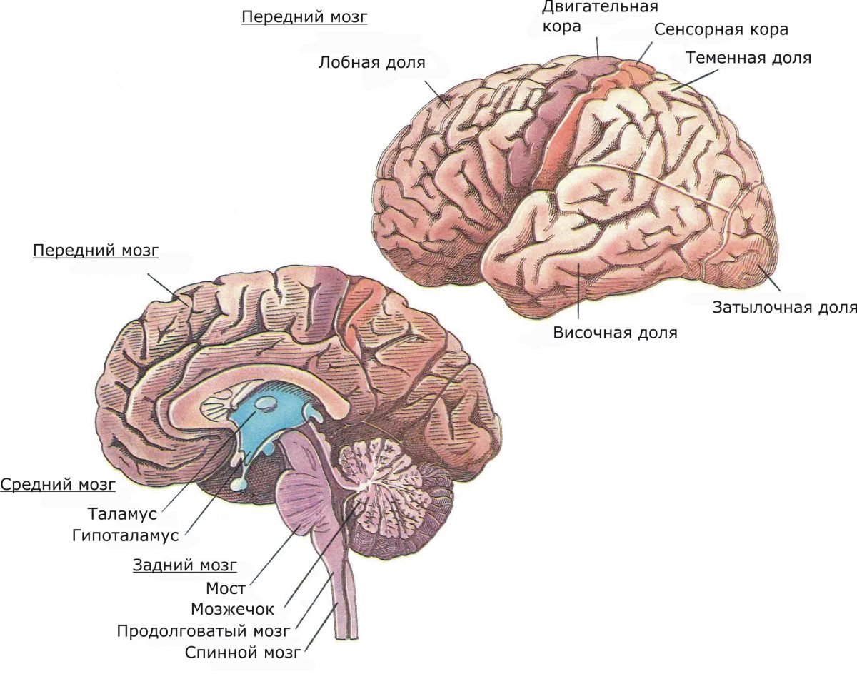 времена хоккеисты строение мозга человека картинка учесть, что сейчас