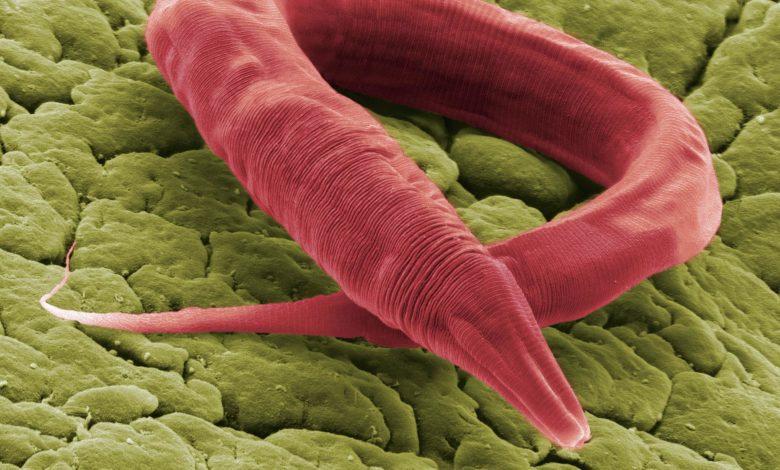 Продолжительность жизни червей увеличилась на 500 процентов в новом исследовании старения