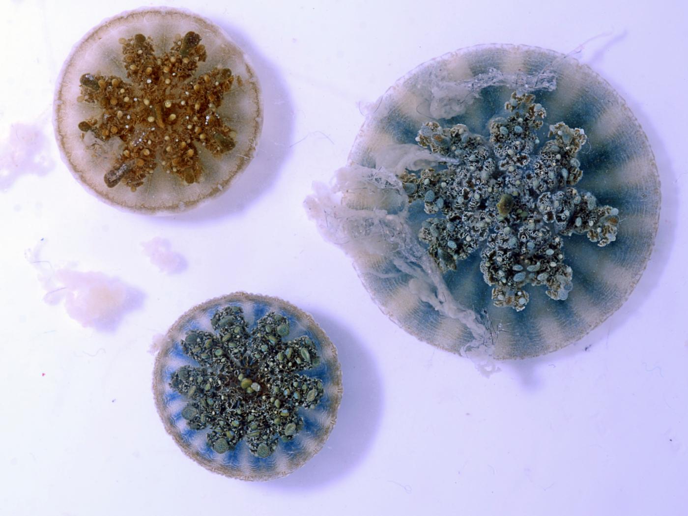 Эти медузы не нуждаются в щупальцах, чтобы ужалить вас