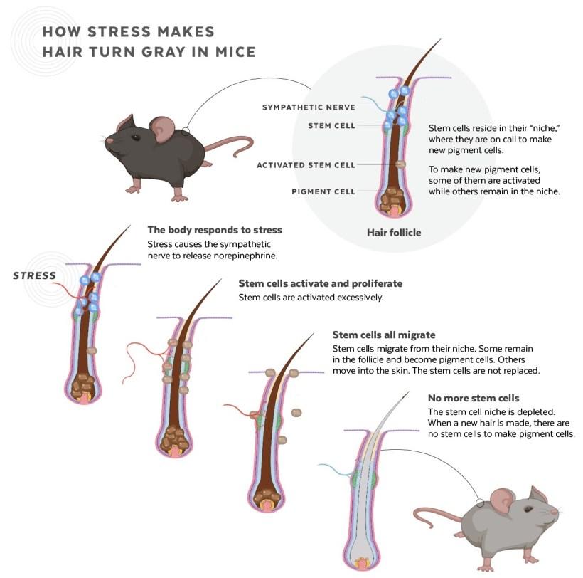 Ученые находят, как стресс делает ваши волосы седыми