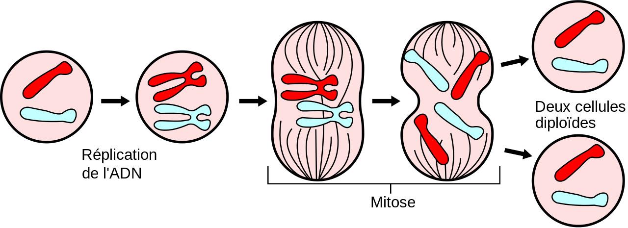 Некоторые вирусы играют жизненно важную роль в эволюции и выживании человеческого вида
