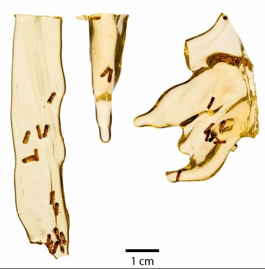 Впервые исследователи извлекли ДНК из насекомых, попавших в янтарь