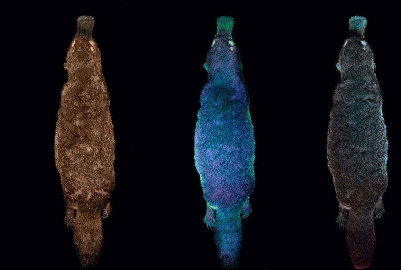 Утконосы светятся странным сине-зеленым светом под ультрафиолетовым светом